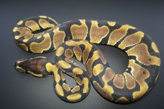 #5 Hypo Mojave x Genetic Banded
