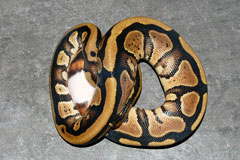 #33 GHI Mojave X Pewter Clown