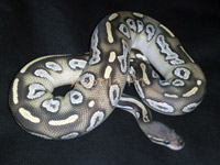 #5 Blackhead Phantom Ghost x Pastel Phantom Ghost Sire