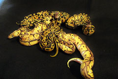 #2 Leopard Clown poss het Piebald x Blonde Pastel het Clown