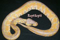 Black Adder Banana Yellow Belly Ballpython