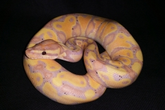 Coral Glow Yellow Belly Het Clown BALLPYTHON