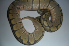 HONEY BEE BALLPYTHON