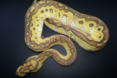 KING CLOWN BALLPYTHON