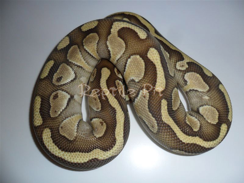 ball python logo by - photo #31