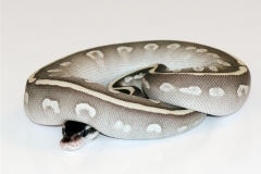 PHANTOM POTION BALLPYTHON