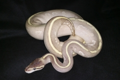 Purple Passion BALLPYTHON