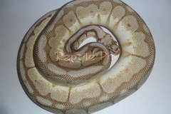QUEEN BEE BALLPYTHON