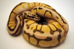 QUEEN BEE YELLOW BELLY BALLPYTHON