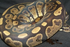 SABLE BALLPYTHON
