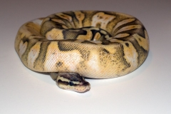 SUPER PASTEL CALICO YELLOWBELLY BALLPYTHON