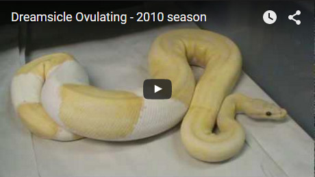 Dreamsicle ovulating – 2010 Season